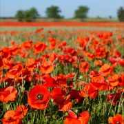 1. Field of poppies
