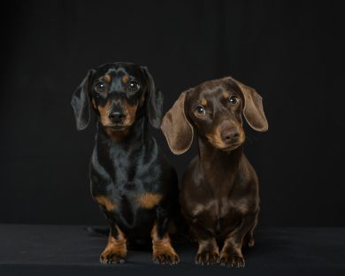 Two miniature dachshunds one black one brown