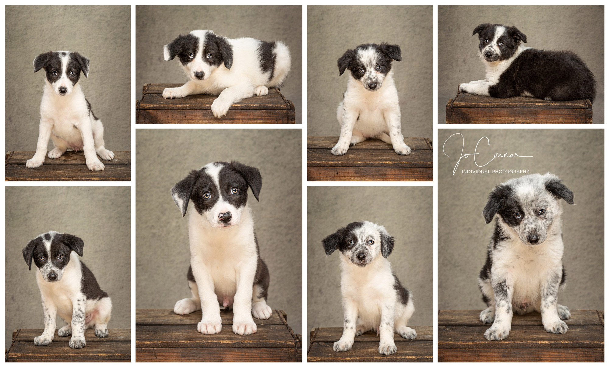 Eight collie cross puppies from the same litter
