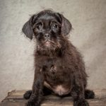 Pepper & Percy, 10 week old Pug/Poodle cross puppies needing lots of TLC in a forever home.